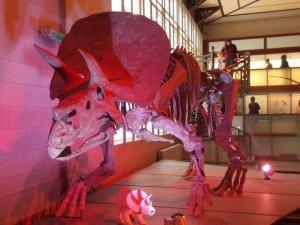 triceratops-museo-nacional-Ciencias-Naturales Museos de Bruselas: Museo Nacional de Ciencias Naturales - DSCN6424 300x225 - Museos de Bruselas: Museo Nacional de Ciencias Naturales