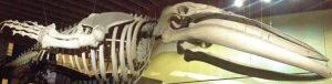 FIEBRE POR LOS MUSEOS EN BRUSELAS - Ballena Sciences Naturelles 300x76 - FIEBRE POR LOS MUSEOS EN BRUSELAS