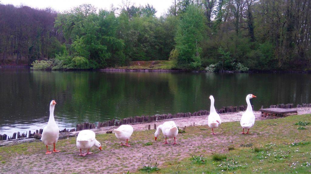 parque nacional de tervuren, una cita obligatoria con la naturaleza - Patos en Tervuren 1024x576 - Parque Nacional de Tervuren, una cita obligatoria con la naturaleza