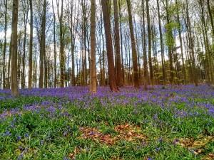 Hallerbos (1) Hallerbos, el bosque azul de Flandes - Hallerbos 1 1 300x225 - Hallerbos, el bosque azul de Flandes