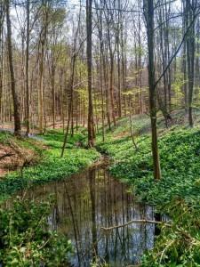 Hallerbos (3) Hallerbos, el bosque azul de Flandes - Hallerbos 3 1 225x300 - Hallerbos, el bosque azul de Flandes
