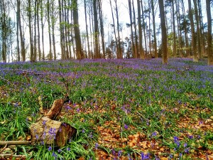 Hallerbos Hallerbos, el bosque azul de Flandes - Hallerbos 300x225 - Hallerbos, el bosque azul de Flandes