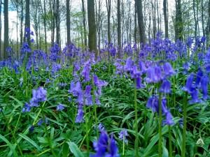 Hallerbos (4) Hallerbos, el bosque azul de Flandes - Hallerbos 4 300x225 - Hallerbos, el bosque azul de Flandes