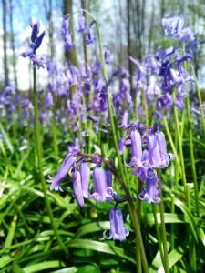 Hallerbos (6) Hallerbos, el bosque azul de Flandes - Hallerbos 6 225x300 - Hallerbos, el bosque azul de Flandes