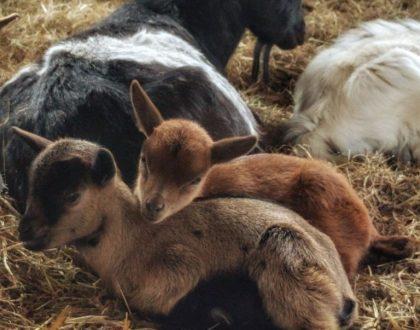 Ponte un peto y... ¡a la granja!